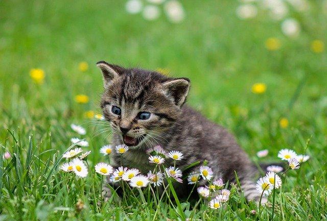 mňoukající kotě